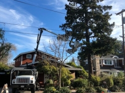 Tree Pruning in Redwood City
