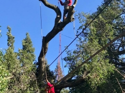 Large Tree Removal - 1