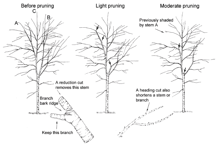 tree pruning redwood city