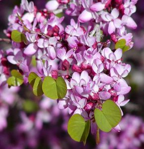 The flowers of the Western Redbud.