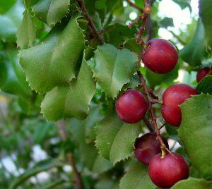 The cherries from the Catalina Cherry Tree.