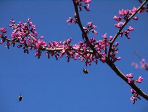 Flowering Western Rosebud tree.