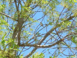 Arizona Ash Tree with bird.