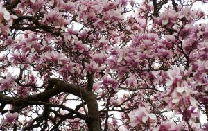 Flowering magnolia tree.