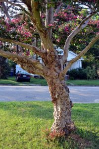 A diseased tree shows off symptoms.