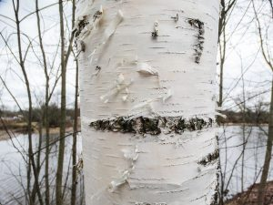White paper birch peeling.
