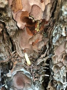 Larva in peeling bark.