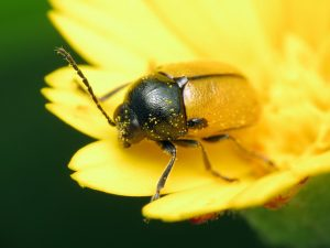 Yellow leaf beetle