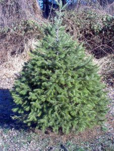 Very small evergreen tree.