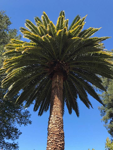Palm After Pruning in Redwood City
