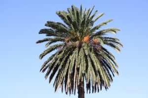 Healthy palm tree